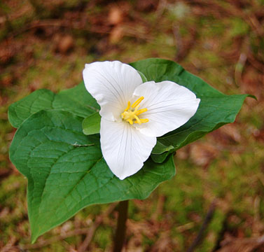 Photo of trillium